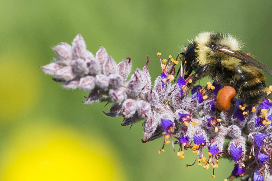 Worker of brown belted bumble bee on lead plant