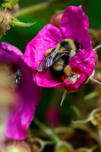 Rusty patched bumble bee worker foraging on wild rose.