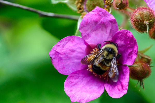 Rusty patched bumble bee worker foraging on wild rose in the UW Arboretum