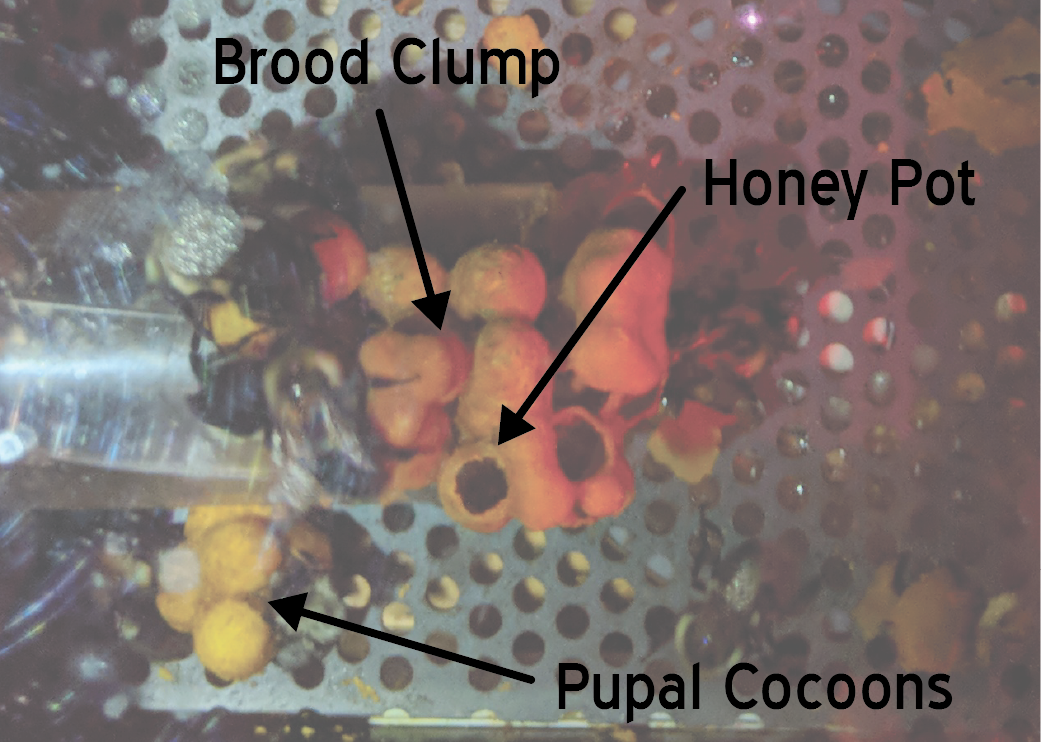 Lab colony of common eastern bumble bees, with brood clump, honey pots, and pupal cocoons labeled.