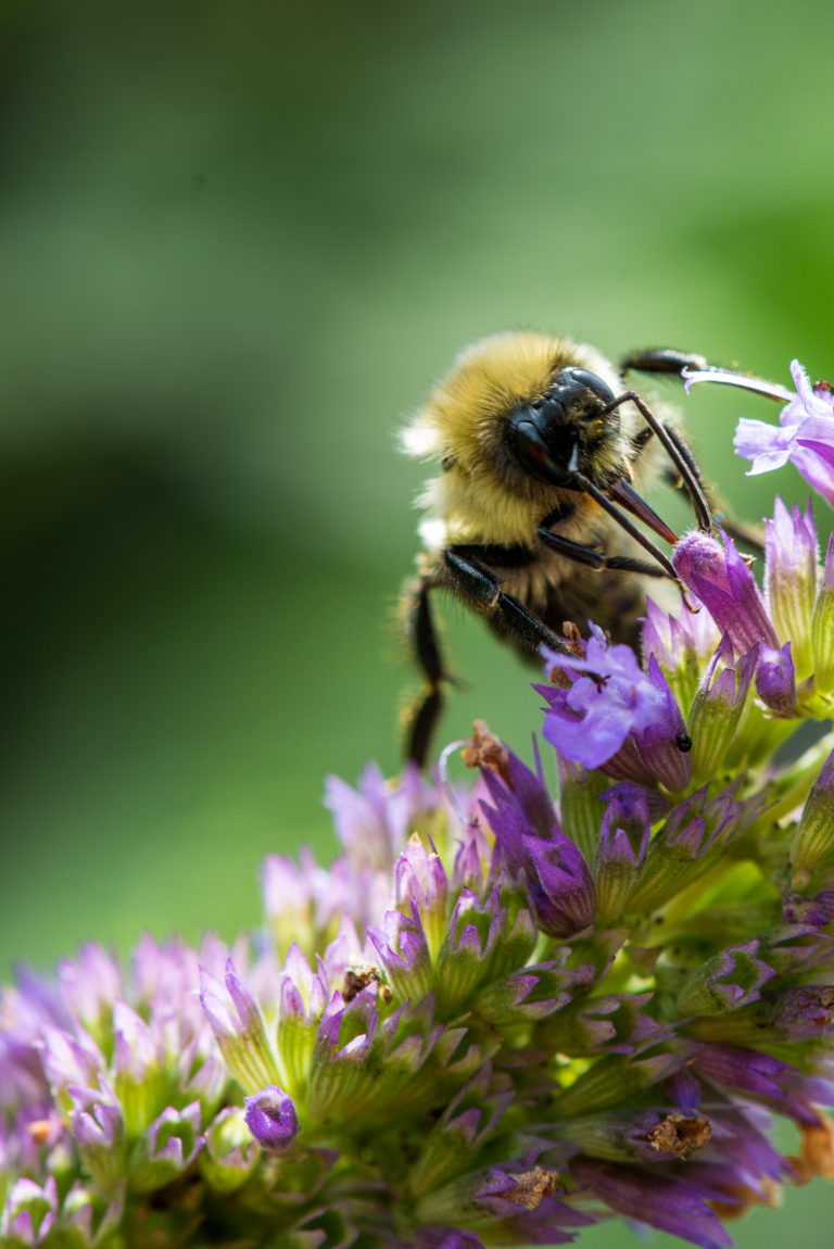 Male common eastern bumble bee foraging for nectar.