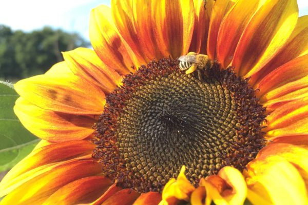 Mining bee gathering pollen on a sunflower